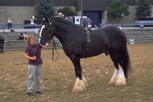 300pxshiredrafthorse_2