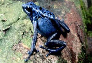 Bluepoisondartfrog