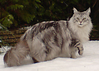 800pxmainecoonsilvertabby