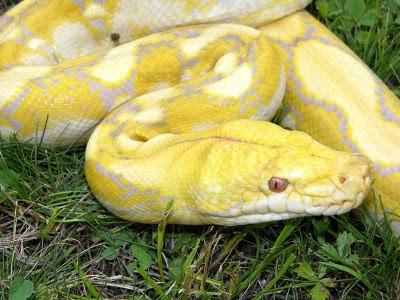 Albino_citrus_reticulated_python