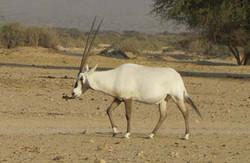 Oryx20leucoryx20israel