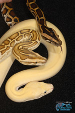 Python20molurus20bivittatus20leucis