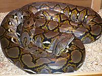Python_reticulatus