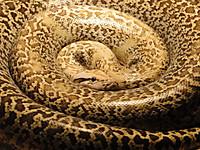 Pythonmolurusbivittatusgranita19563